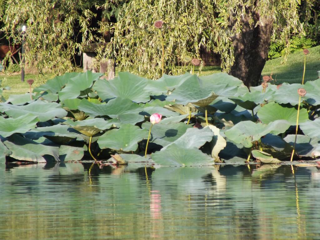 Lotusfelder